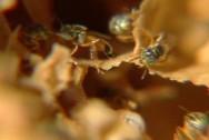A abelha jataí tem grande capacidade para fazer ninhos e sobreviver em diferentes ambientes