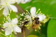 Abelhas nativas sem ferrão: flora apícola
