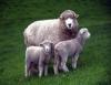 Escolha da melhor raça de ovinos depende do sistema de criação e da aptidão da mesma