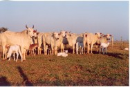 Aumento da taxa de desmama otimiza a rentabilidade do gado de corte na fase de cria