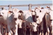 Novo método de castração bovina é mais eficiente