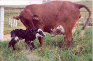 Como reduzir o intervalo entre partos na pecuária de leite