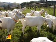 Criação de cabras leiteiras, atividade prazerosa e lucrativa