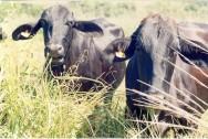 Redução da idade ao primeiro parto contribui para a eficiência reprodutiva da vaca leiteira