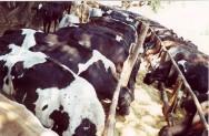 Confira as vantagens dos controles reprodutivo e leiteiro