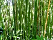 Pesquisa estuda a utilização do bambu na construção