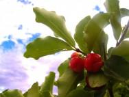 Pequena fábrica de polpa de frutas: benefícios da acerola