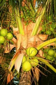 Pequena fábrica de polpa de frutas: benefícios do coco
