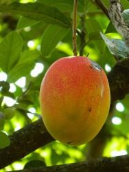 Pequena fábrica de polpa de frutas: benefícios da manga