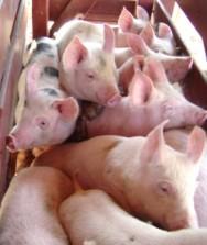 Vendas de carne suína para o exterior aumentam mais de 18% em maio