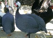 Hábitos e características da galinha da angola