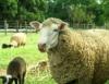 O colorido das ovelhas muda o cenário da ovinocultura