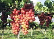 Produtores do semiárido apostam na frutiovinocultura