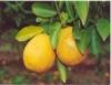 Pesquisa desenvolve equipamento para diagnosticar o amarelão nos citros