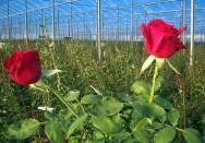Aprenda Fácil Editora: Setor de floricultura aumenta sua produção