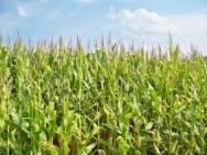 Cuidados com o solo para o cultivo de milho