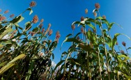 Sorgo sacarino pode ser alternativa para a produção de etanol