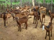 Melhoramento genético coloca PB na liderança na produção de leite de cabra