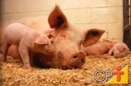 Sistema orgânico de criação de suínos: vantagens da criação