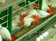 Produção de ovos cresce 8,2%