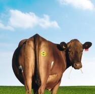 Aprenda Fácil Editora: Patch para informações sobre manejo de vacas