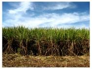 Recomenda-se que o produtor reserve uma pequena área da propriedade para realizar testes do desenvolvimento de novas variedades de cana-de-açúcar