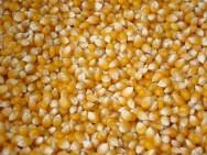 Exigência de novo padrão de qualidade do milho é adiada