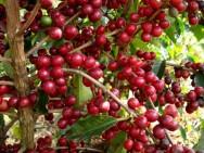 Aprenda Fácil Editora: Safras de café 2012/13 estão sendo afetadas pelas chuvas