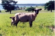 Crie ovinos de corte e obtenha sucesso no mercado