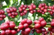 Receita com exportação de café bate recorde