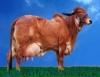 Melhoramento genético de gado de leite é um dos destaques da Expozebu 2010