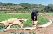 Milho hidropônico é alternativa para alimentação animal