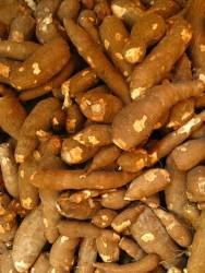 Novas variedades de mandioca são apresentadas no PR