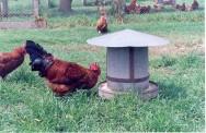 Alimentação de frangos de corte e aves de postura na criação orgânica