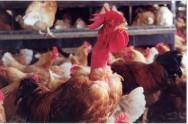 Conheça a permacultura na criação de frangos de corte e aves de postura