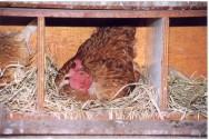 Instalações para a criação orgânica de frangos de corte e aves de postura