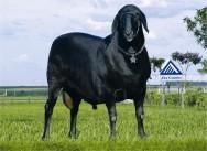 Projeto pretende estimular a criação de ovinos em Goiás