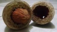 Castanha-de-cotia pode ser a mais saudável