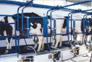 O retrato do produtor de leite orgânico no Brasil: agricultor, criador e administrador.