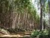 Cultivo de eucalipto é  lucro da raiz às folhas