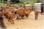 Gir: gado dócil, resistente, de dupla aptidão