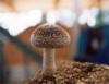 Cultivo do cogumelo Shiitake em substratos com esterilização ou pasteurização severa
