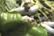 Bicho-da-seda: sistema de produção