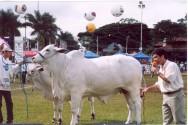 Conheça o gado Nelore