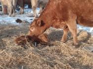 Angus destaca-se como gado fértil, rústico e excelente produtor de carne