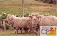 Ovinos para produção de lã: domesticação dos ovinos
