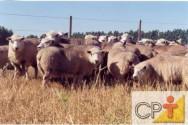Ovinos para produção de lã: raças de lã fina
