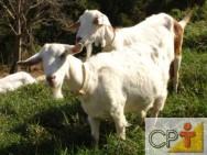 Cabras leiteiras: cabras gestantes