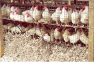 Avicultura: montagem de um galinheiro e benefícios dos ovos de galinha