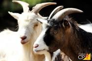 Caprinos de corte: vantagens na criação de caprinos